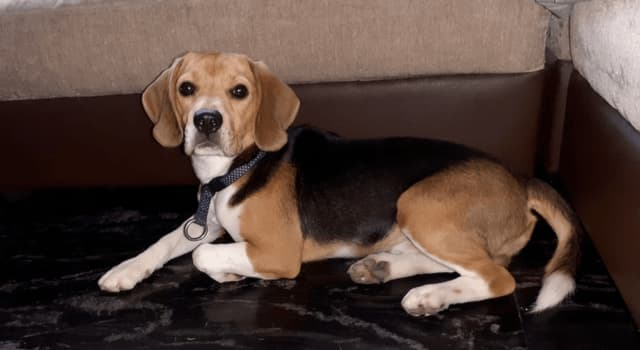 Nature Trivia Question: Why do beagles have big ears?