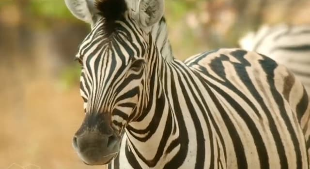 Природа Вопрос: Зачем зебрам черно-белый окрас?