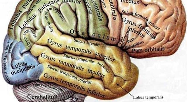 Наука Вопрос: Что находится на поверхности мозга?