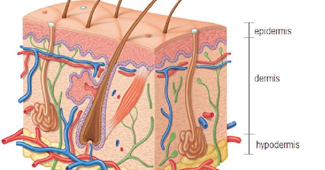 Наука Вопрос: Какой белок обеспечивает сияющую кожу и его выработку невозможно стимулировать косметикой?