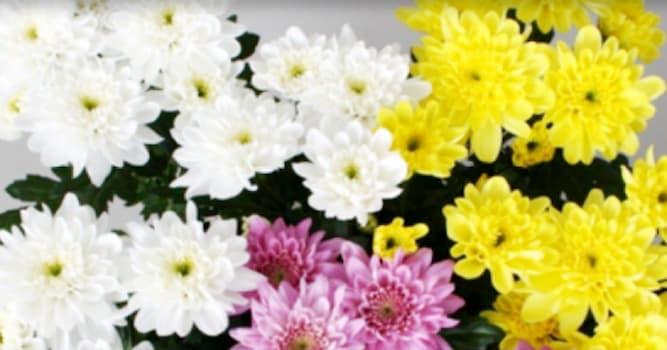 Общество Вопрос: Какой цветок до сих пор считают символом Японии и самого Солнца?