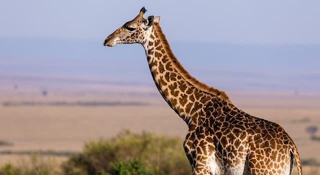Природа Вопрос: Какой континент является исторической родиной жирафа?