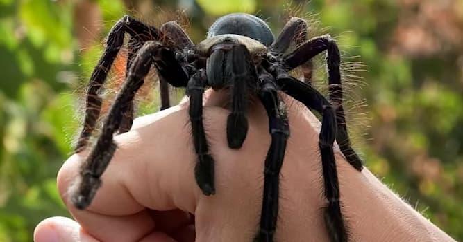 Кино Вопрос: Какой паук является самым ядовитым?