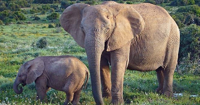 Природа Вопрос: Сколько весит новорождённый слонёнок?
