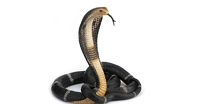 Science Trivia Question: What's the average lifespan of a King Cobra?