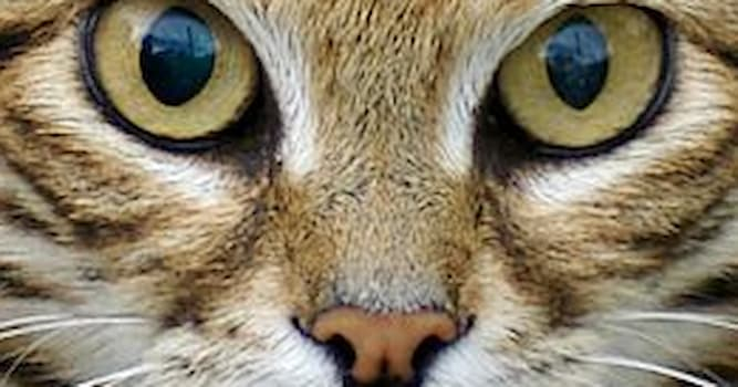 Nature Trivia Question: What's the most dangerous/deadliest cat in the world?