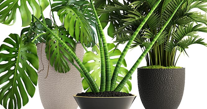 Culture Trivia Question: What type of house plants grow indoors for decoration?