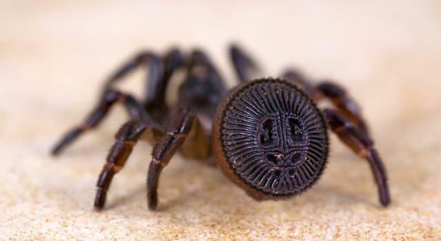 Природа Вопрос: Зачем пауку Циклокосмии диск на брюшке?